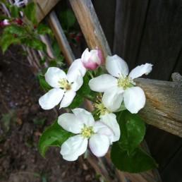 Yakima Apple Blossoms by Erin Malland